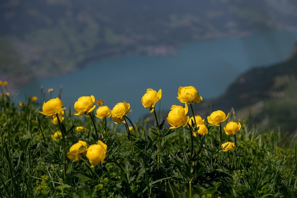 Fiori Gialli Di Montagna.Globo Fiore Giallo Di Foto Gratis Su Pixabay