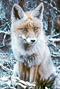 Fox, Furbo, Selvatici, Fauna, Carnivore