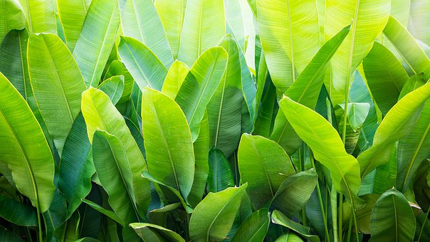 Banana, Leaf, Green, Tropical, Plant