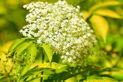 Holunder, Blume, Beere, Lebensmittel