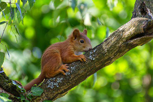 Squirrel, Young, Young Animal, Mammal