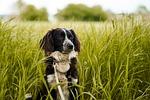 pies, pole, zielony
