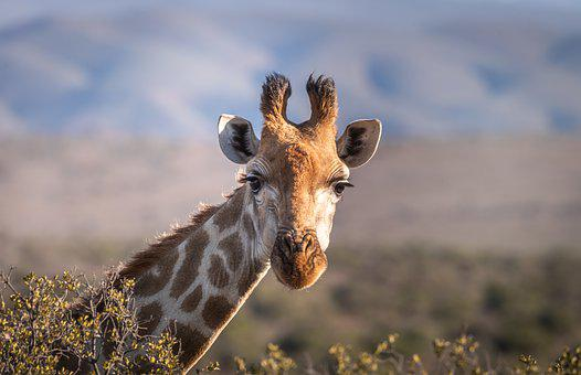1,000+ Giraffe Pictures & Images [HD] - Pixabay - Pixabay