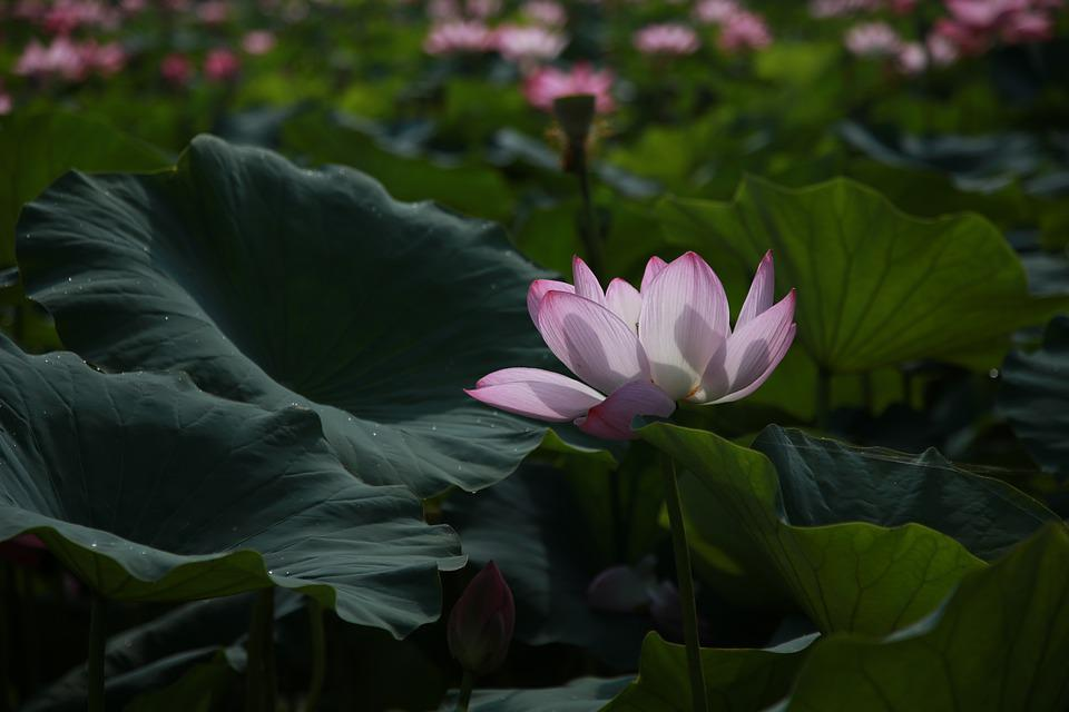 Lotus Flowers Water Lilies Free Photo On Pixabay