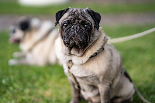 300 Free Pug Dog Images Pixabay