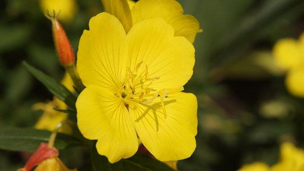 3 Texas-Nachtkerze Steingartenpflanze mit gelben Blüten