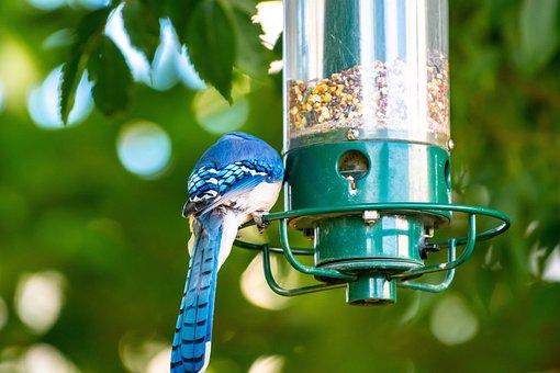 100+ Free Blue Jay & Bird Images - Pixabay