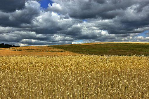 Cornfield, Field, Wheat Field, Grain