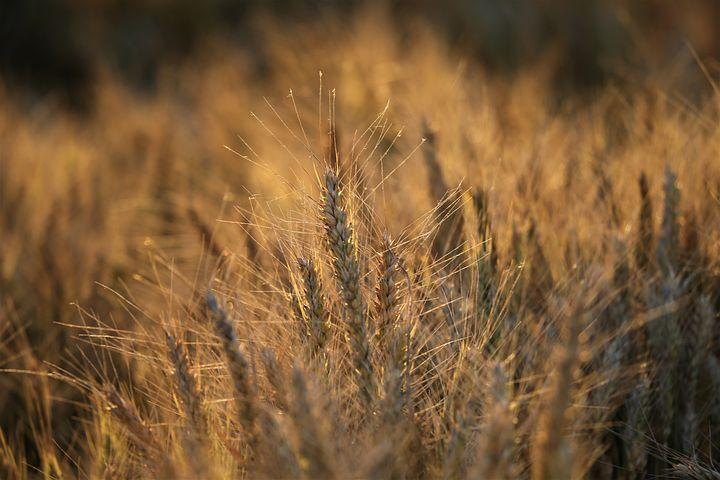 ерелек том, красная пшеница фото попадете очень