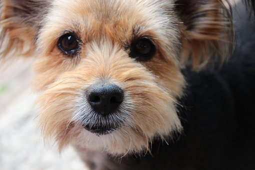 Dog, Mix, Yorkshire Terrier, Eyes