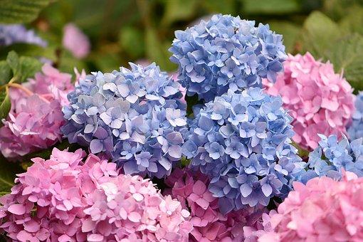 花, 青, ピンク, あじさい, 植物, フローラ, 自然, 庭, 夏