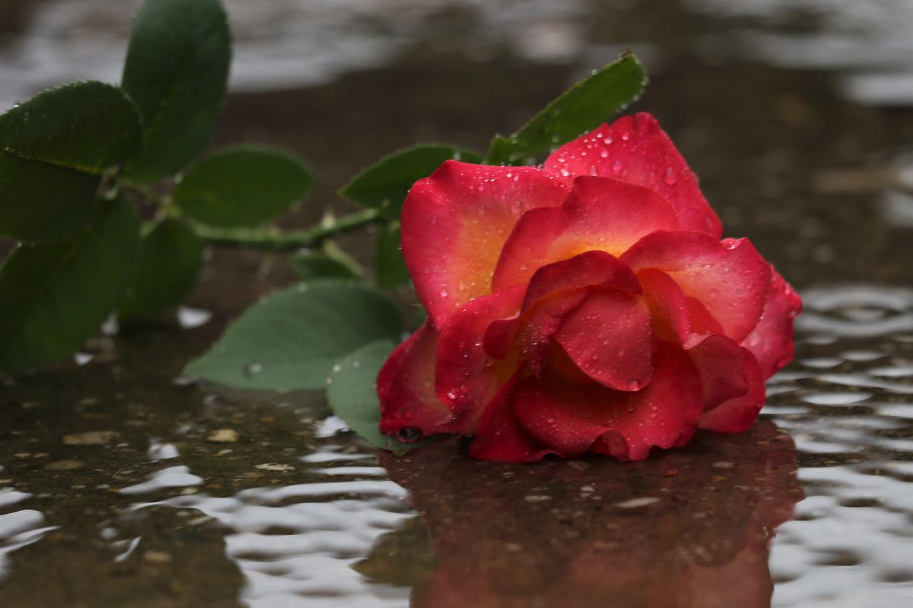 одним розы под дождем фото такая одежда появилась