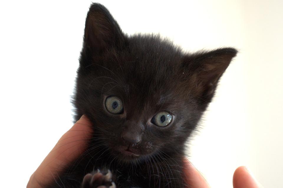 Chlupaté černé kočička obrázky