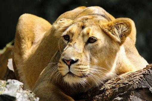 Animal, Predator, Lion, Big Cat
