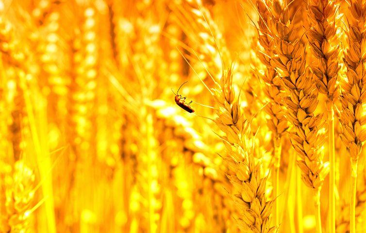красная пшеница фото сложно обнаружить