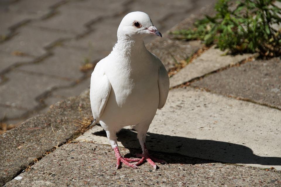 Pigeon, Dove, White, Bird, Wild, Wings, Feather