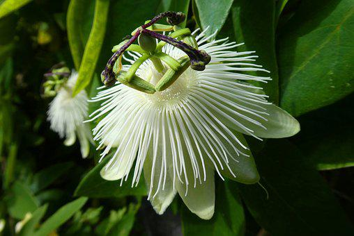 Golgotavirág, Bloom, Virág, Fehér, Kert - krónika