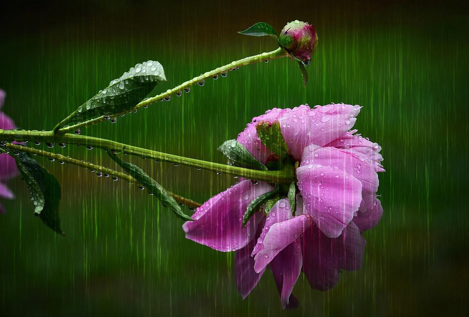 Peony, Flower, Rain, Nature, Summer, Bud, Fulfillment