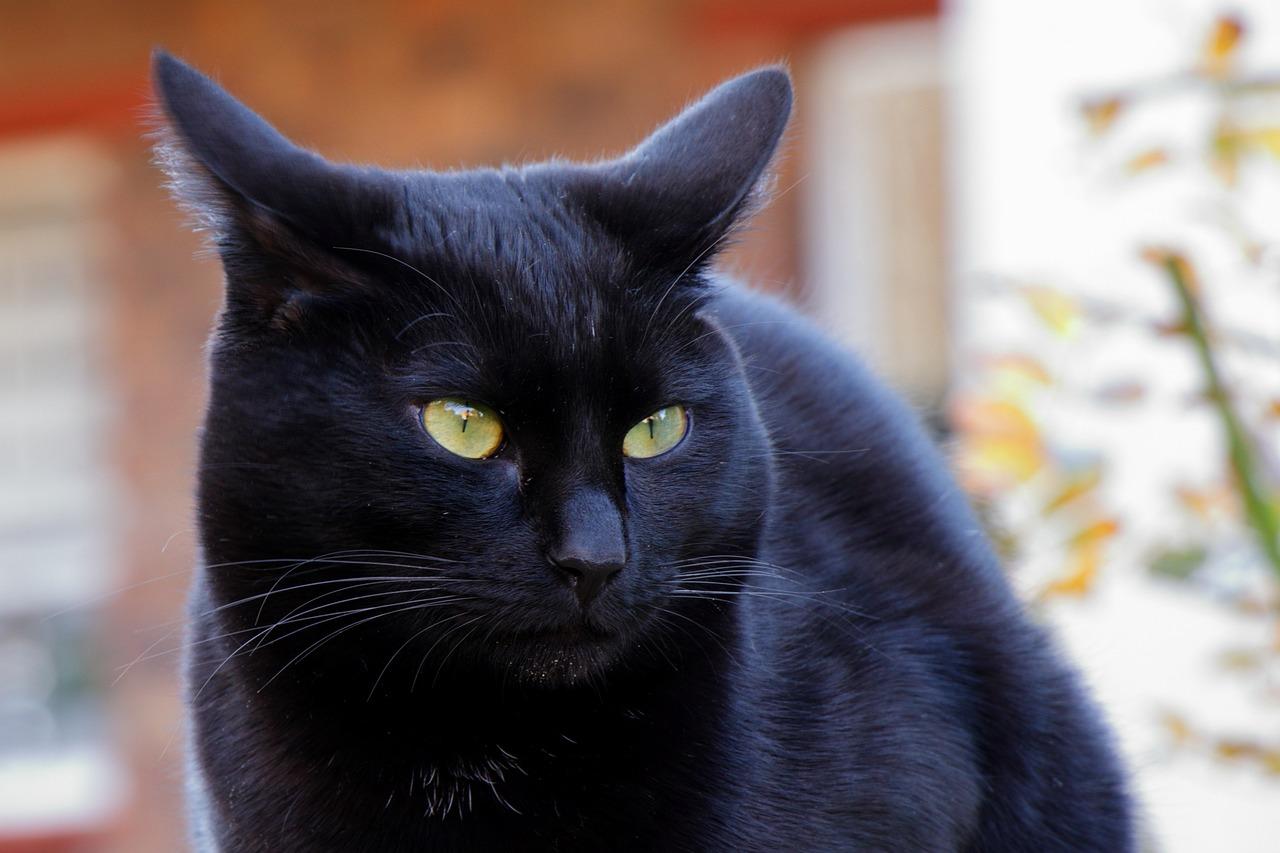 того, как черные приодетые кошки картинки отличается удачным балансом