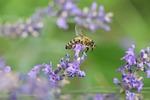 pszczoła, makro, miód