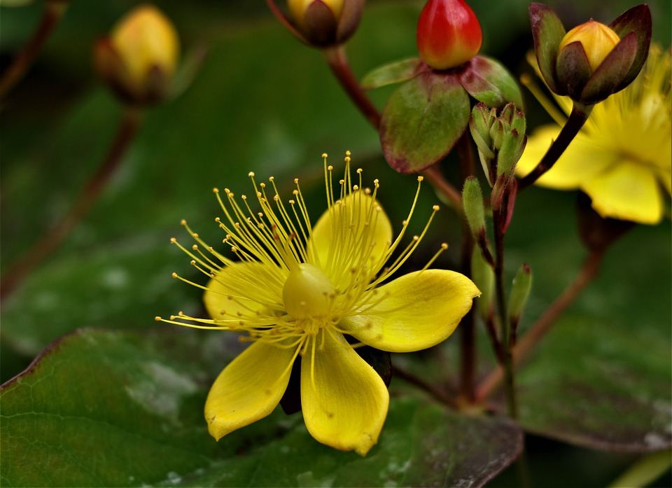 Fiore, Impianto, Iperico, Bloom, Petali, Botanica