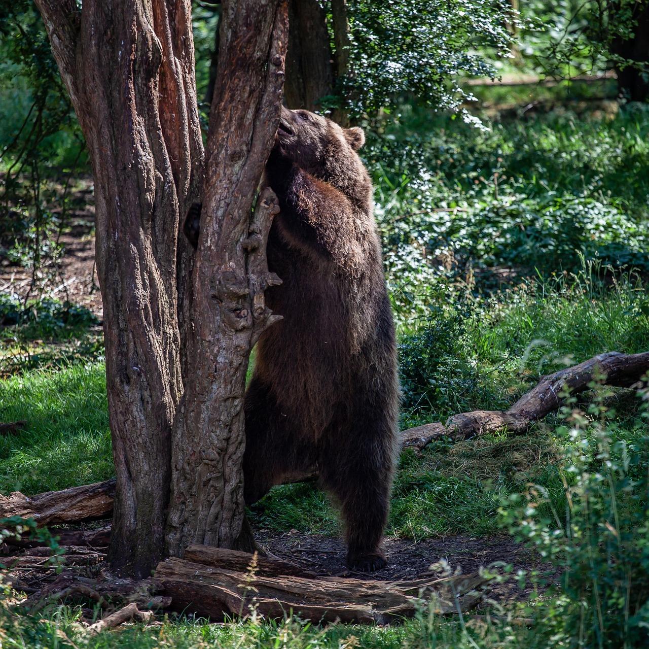 портрет фото меток медведей на деревьях вещество, органическое оно