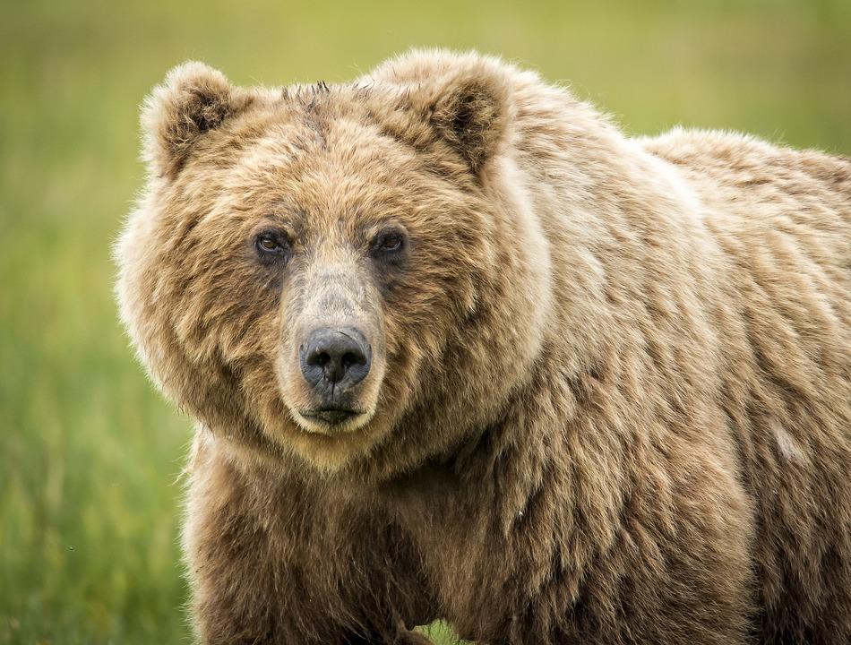 Bear, Wildlife, Grizzly, Wild