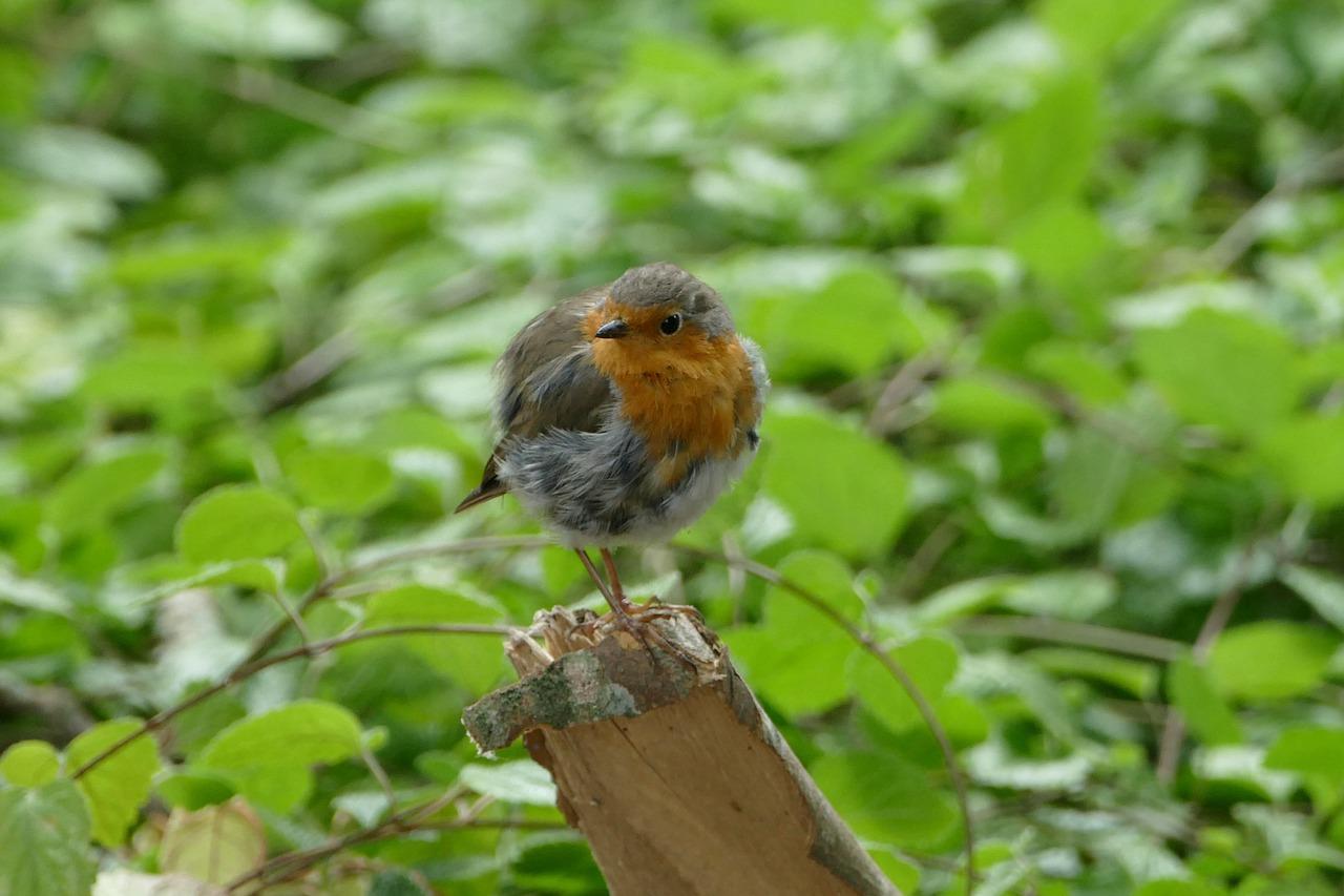 певчие птицы украины фото породе