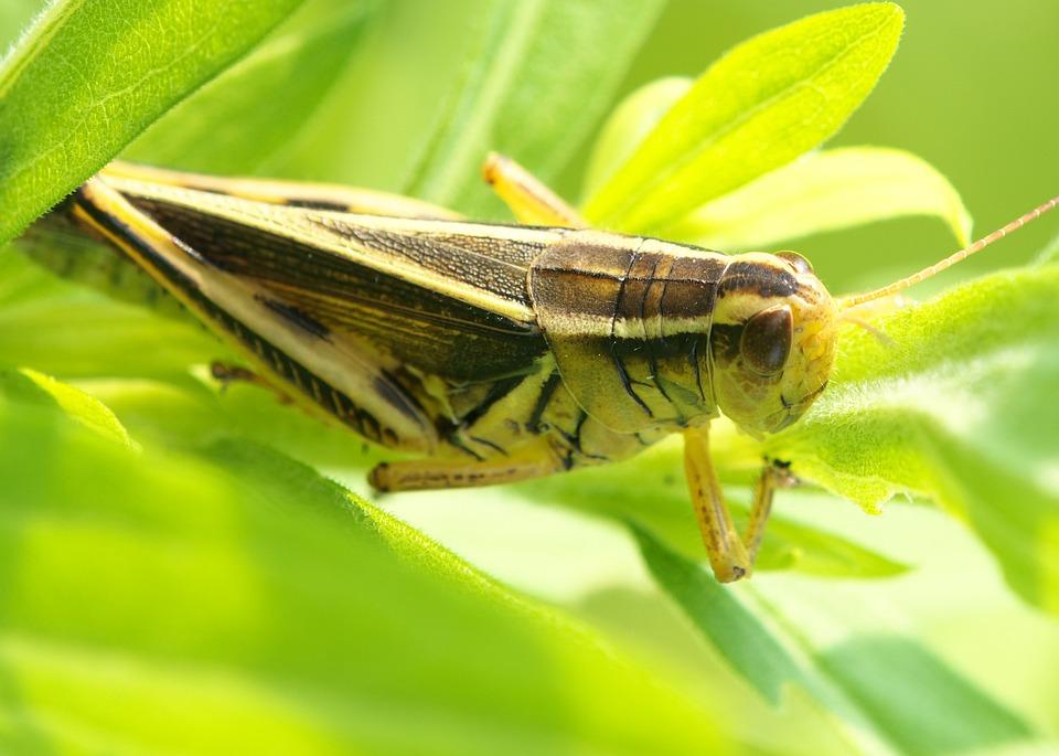 Ortópteros-con-patas-anteriores-desarrolladas