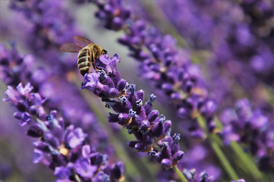 Champ De Lavande, Abeille, Lavande, Nectar, Violet