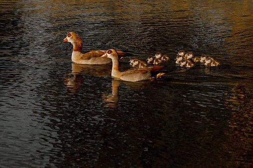 アヒル, 池, 湖, ママ, 自然, 水, ミラーリング, 鳥, 反射