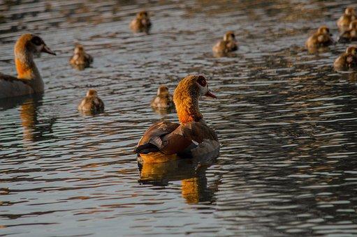 Duck, Pond, Lake, Mama, Nature, Water