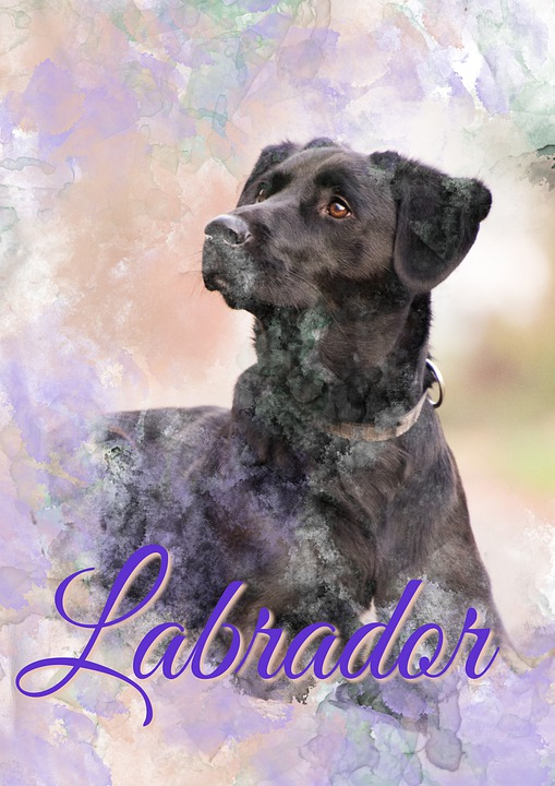 svart labrador