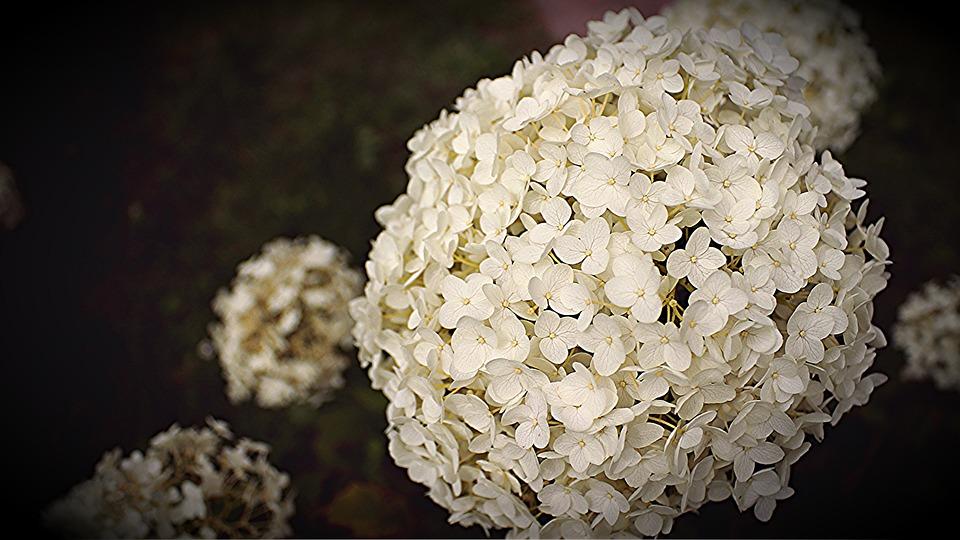 Hortensie, Blüte, Große Blüte, Nahaufnahme Blüte, Natur
