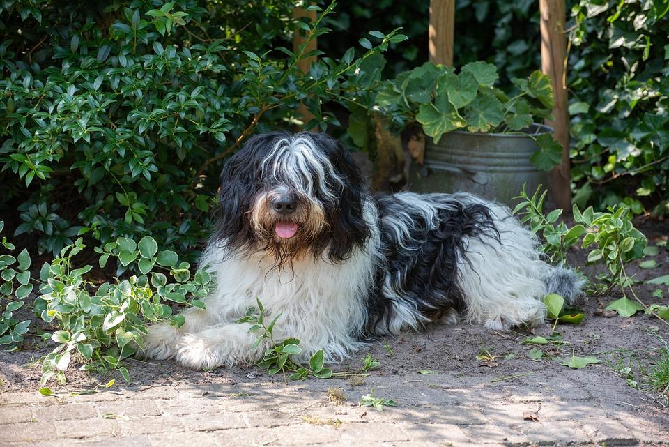 Hond, Harige, Cute, Huisdier, Dierlijke, Portret