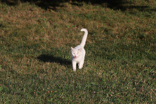 Barn Cat, Cat, White, Animal, Kitty