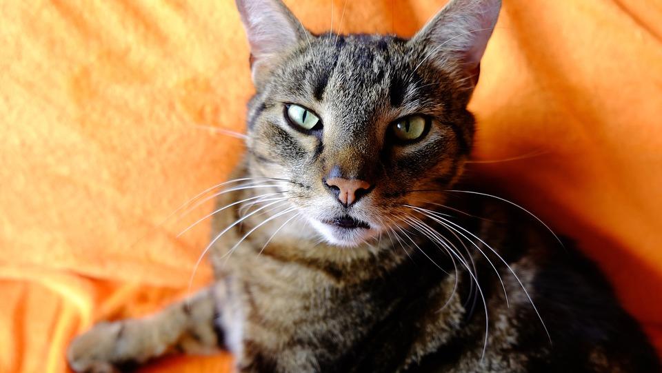 VIDEO: V Doupovských horách se zabydlela už druhá divoká kočka.