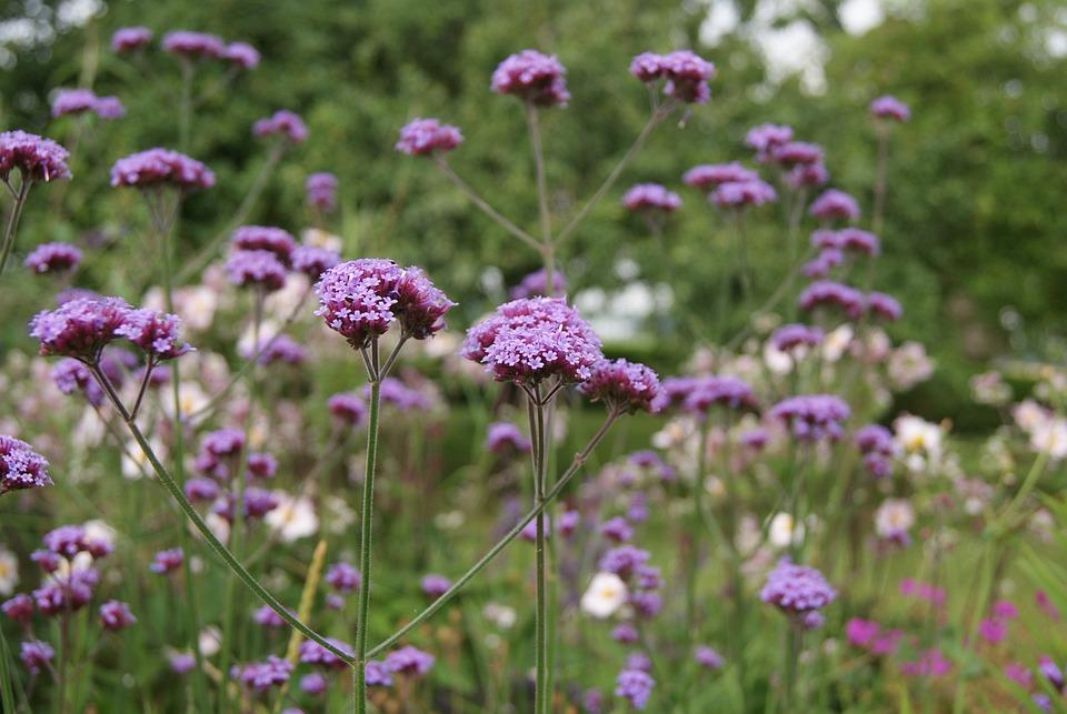 Verveine, Ijzerhard, Fleur, Purple