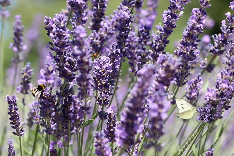Lavande, Fleurs, Purple, Bloom, Insectes, Blanc