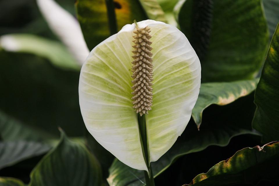 Plank, Spathiphyllum, Blossom, Bloom, Vaginal Sheet