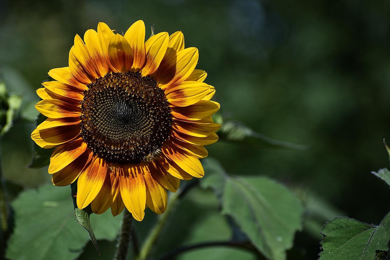 Wallpaper Background Sunflower Free Photo On Pixabay