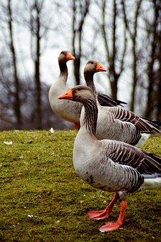 official photos 01824 28409 100+ kostenlose Wildgänse und Vogelschwarm-Bilder - Pixabay