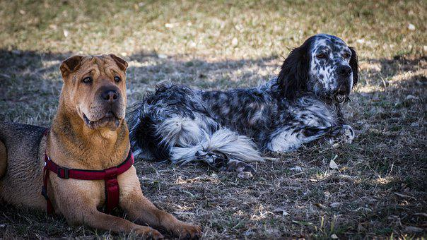 Cães, Shar Pei, Setter