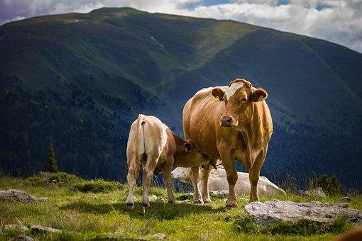 Cow, Calf, Pasture, Cattle, Nature, Cute