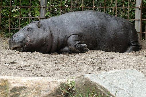 Dwergnijlpaard, 動物園, Blijdorp, カバ, オランダ
