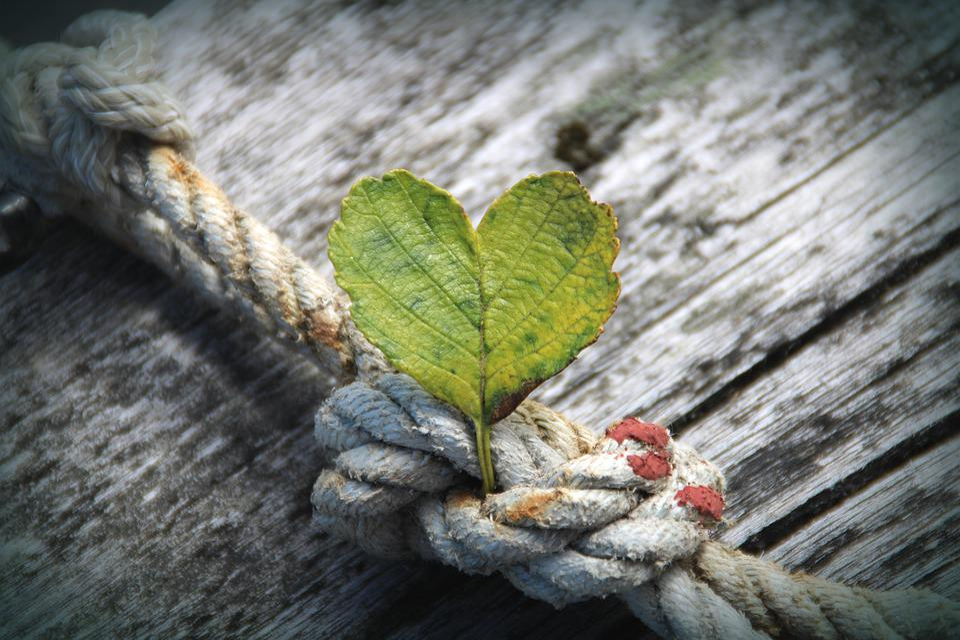 Coeur, Feuilles, Corde, Rosée, Noeud, Bois, Plantes