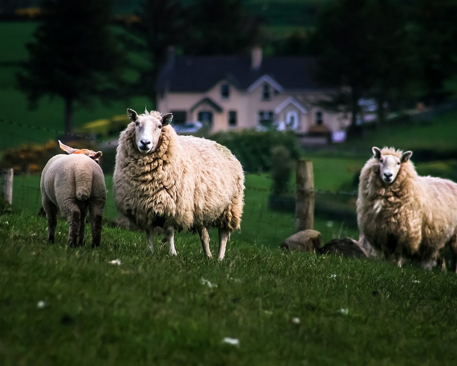 Sheep, Ireland, Nature, Animal, Wool, Animal Animals