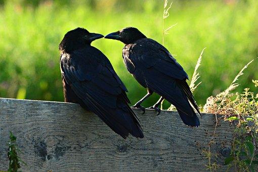 Corneille Noire, Oiseau, Des Animaux