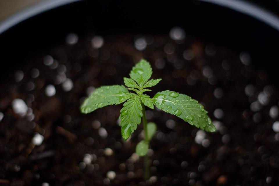 cannabis-4356210_960_720.jpg (960Ã640)
