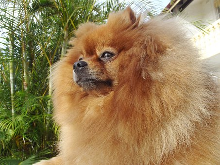 Pomeranian, Dog, Spitz Type
